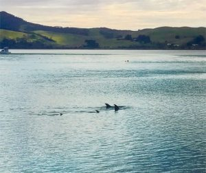 Dolphins- northland