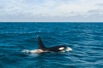 orcas_animaux