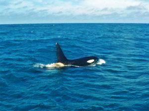 orcas_Kaikoura